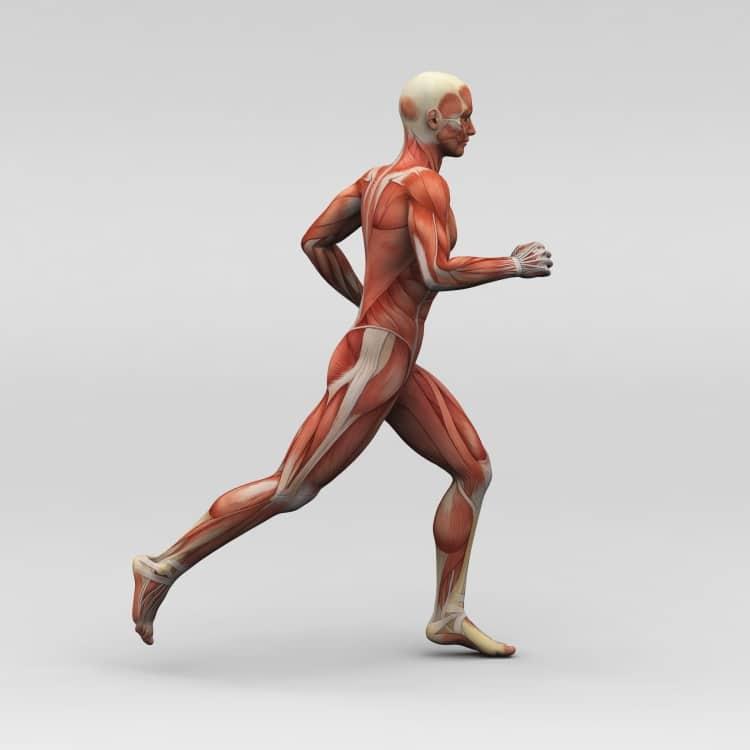 Muscle et sport