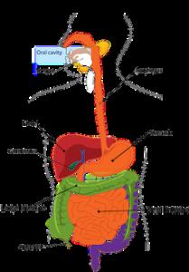 Digestion fonctionnement